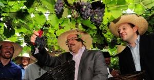 O governador do Rio Grande do Sul, José Ivo Sartori  colhe uvas nesta quinta-feira (15) no distrito de São Pedro, interior de Bento Gonçalves (RS)