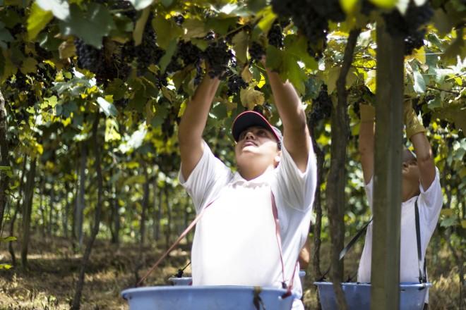 Colheita da uva (Foto: Tiago Bender)