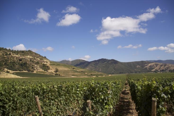 Vineyard at VIK (7)