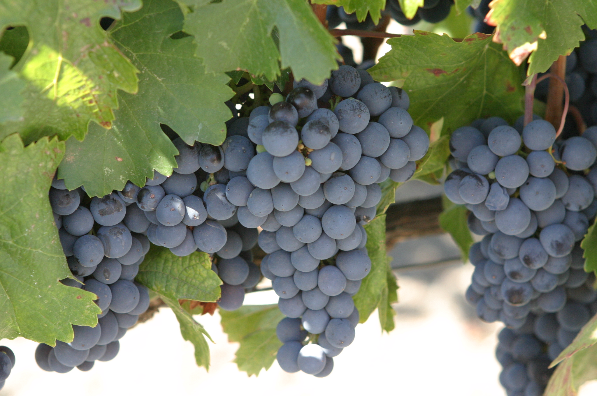 Malbec_grapes.jpg