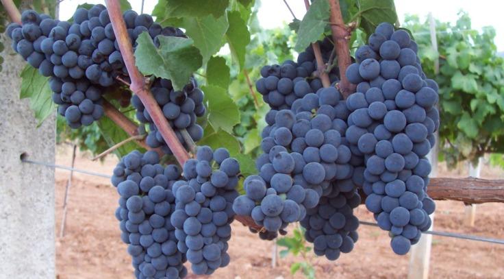 Gamay-grapes.jpg